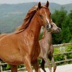 INSHA SHABILAH chestnut Straight Egyptian mare Strain: Hadban Enzahi *2006 Germany Breeder: Inshallah Stud