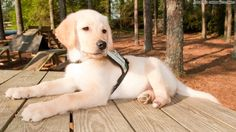Meet Pirelli the Puppy. He was born with a malformed paw. Now he's a service dog in training! Repin to help spread his powerful message of disability awareness!