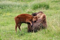 Baby Buffalo and Mom – Buffalo's & Bison – # Bison # Buffalo's Rare Animals, Cute Baby Animals, Animals And Pets, Animal Babies, Beautiful Creatures, Animals Beautiful, Baby Bison, Baby Buffalo, Animal Totems