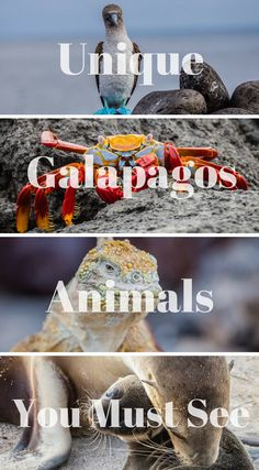 Unique Galapagos Islands Animals You Must See. With a treasure trove of endemic species, theGalapagos Islandsare renowned for natural wonders and uniquewildlife. A huge part of why you visit theGalapagos Islandsis definitely to see theanimals, here are just a few animals you will see on your visit to the #Galapagos #Islands Click to read more. #Wildlife #Animals #Adventure #Travel #Nature