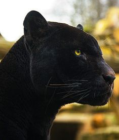 """Jin Rayne"" from ""Change of Heart""? Beautiful Cats, Animals Beautiful, Big Cats, Cats And Kittens, Black Panther Cat, Black Cats, Black Panthers, Animals And Pets, Cute Animals"