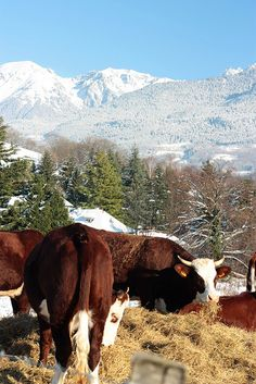 cows and beautiful mountains