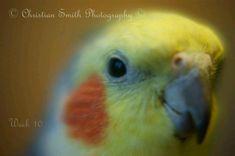 Macro shot of my cockatiel