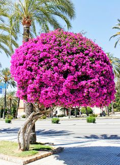 bougainvillea plant on lattice - Google Search