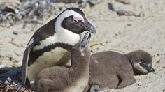.Scientists decode Penguin Calls