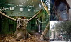 Orangutan remains in a cage two years after being granted human rights