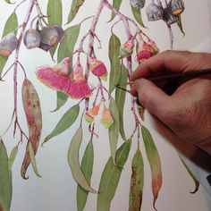 Australian native Eucalyptus caesia 'Silver Princess' work in progress in watercolour. Another productive day at the easel. Australian Wildflowers, Australian Native Flowers, Cute Animal Illustration, Wedding Illustration, Botanical Drawings, Botanical Art, Watercolor Animals, Watercolor Art, Native Drawings