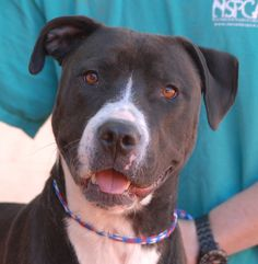 "Mickey, who is so eager to please, is excelling at ""Boot Camp"" -- exercise playtime & dog training at a professional facility with volunteer escorts.  Mickey is 1 year of age, but as enthusiastic as a young puppy, unaware of his size and strength.  He is a good-looking blend of Labrador Retriever & Bully and he is neutered and awaiting adoption at Nevada SPCA (www.nevadaspca.org).  Mickey will thrive in a home with an active lifestyle."