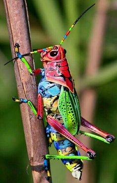 Rainbow Grass hopper.