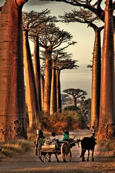 Picture from Baobab Avenue in Madagascar. I love how the photographer captured the littles boy's happiness. The sky always seems to look so beautiful here. I'm obsessed with the trees.