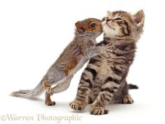 Baby Grey Squirrel kissing a tabby kitten