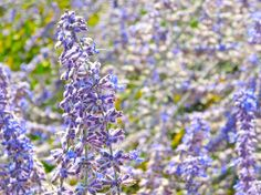 Lavendar  Photo: Alexandra Vietti, Earth911    Lavender flowers are edible and can be used in both sweet and savory dishes - from sugars and sorbets to flavorful sauces for roasted meats and vegetables.