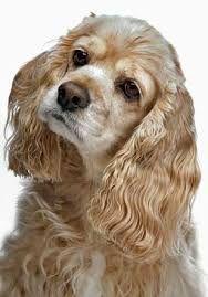 Image result for cocker spaniel dog