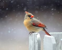 A cardinal perches on a fence post as snow flurries swirl around it in the first snowfall of the season in Greer, South Carolina, Tuesday, Jan. 28, 2014. An unusual winter storm dropped about an inch of snow in the South Carolina Upstate.