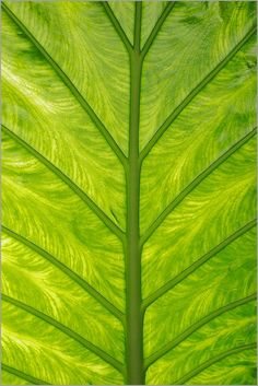 Banana leaf photographed by Gerard Therin.
