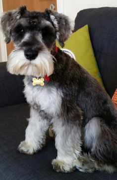Miniature Schnauzer Puppies, Schnauzer Puppy, Dogs On Planes, Animals And Pets, Cute Animals, Dog Hotel, Silly Dogs, Most Popular Dog Breeds, Cat Sitting