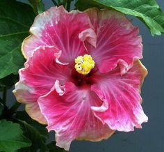 Hibiscus 'C'est Bon Cajun'