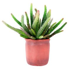 Nestled in a clay pot, this faux euphorbia cactus brings desert-chic style to your dining table centerpiece or foyer console.   Pro...