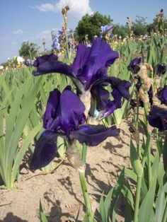 Iris germanica - soi Black Dragon