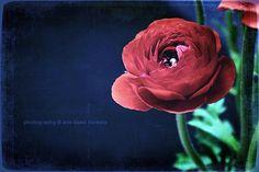 #Ranunculo #flor #primavera #spring #analopezheredia