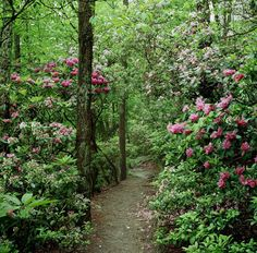 Rhododendron - West Virginia's state flower