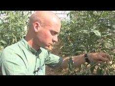 Biokertészeti módszerek: mulcs, szivárogtató öntözés, paradicsom kötözés és hónaljazás - YouTube