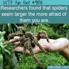 Amazing And Weird Facts - Researchers found that spiders seem larger the more afraid of. Fun Facts Scary, Funny Weird Facts, Weird But True, Crazy Facts, Random Facts, Random Things, Celebrity Blogs, Bad Memes, Funny Memes