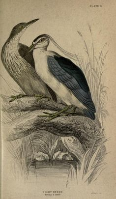 Night heron, The Naturalist's Library, conducted by Sir William Jardine, Vol. III Ornithology (Birds of Great Britain and Ireland), circa 1833.