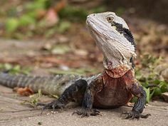 Animals+Associated+with+Australia | Water Dragon | The Life of Animals