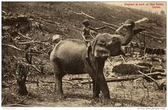 SRI LANKA CEYLON ELEPHANT AT WORK ON NEW ESTATE #elephant #postcard #srilanka