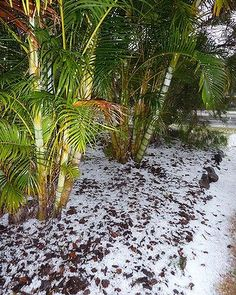 Dipsys lutescens -- snow among the palm trees. start of storm season in Brisbane.