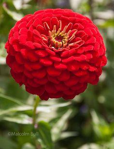 1.  My favorite flower to grow.  Zinnias.  #organic #gardening