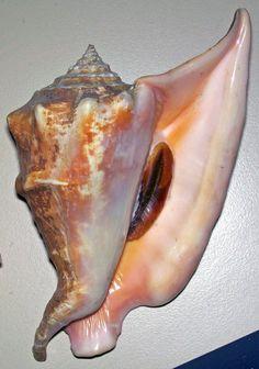 Strombus peruvianus (Peruvian conch) 2 | by James St. John