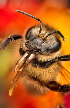 Bee portrait Photo by Javier Replinger I Love Bees, Bees And Wasps, Beautiful Bugs, Bee Art, Mundo Animal, Bugs And Insects, Tier Fotos, Bees Knees, Bee Keeping