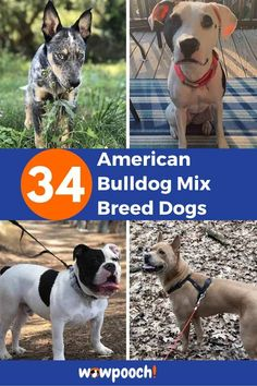List Of American Bulldog Mix Breed dogs  #1American Bandogge/American Masti-Bull – (American Bulldog X Mastiff Mix)   From:Instagram  Related Reading: 39 Mastiff Mix Breed Dogs  #2 American Bernard – (Saint Bernard x American Bulldog Mix) From: Instgram  #3 American Bernese – (Bernese Mountain Dog American Bulldog) From:Instagram  #4 American … 34 American Bulldog Mix Breed Dogs Read More » Staffy Bull Terrier, Bull Terrier Mix, French Bulldog Mix, American Bulldog Mix, Big Dog Little Dog, Mastiff Mix, Wild Animals Pictures, Rottweiler Mix, Bulldog Breeds