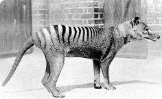 Сумчатый волк, или тилацин. Вид полностью истреблен