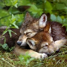 sleeping wolf pups