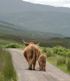 Scottish Highland cow & calf