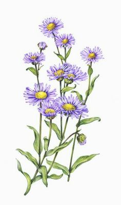 Aster - Flower and Plant. Symbolize patience, love of Variety, elegance, daintiness, and afterthought (or the wish things happened differently) Aster Tattoo, Aster Flower Tattoos, Birth Flower Tattoos, September Birth Flower, September Flowers, Botanical Drawings, Botanical Prints, Tattoo Soeur, Aster Blume
