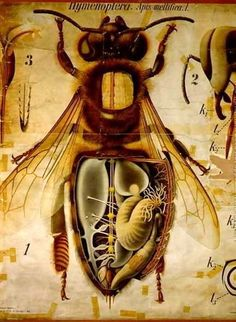 Anatomy of the Honey Bee, Pfurtschellers Zoological Wall Chart by Paul Pfurtscheller - Reproduction Oil Painting I Love Bees, Birds And The Bees, Bees And Wasps, Bee Art, Bee Happy, Save The Bees, Busy Bee, Bees Knees, Queen Bees