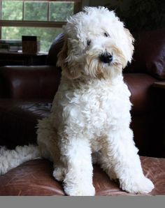 One of my beautiful puppies. He is a breeder at memory lake labradoodles. Black Canyon Trophy Troy