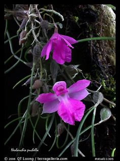 Neolauchia puchella. A species orchid (color)