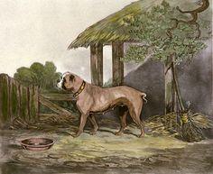 Illustration of original english bulldog.