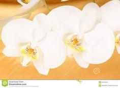 Phalaenopsis Aphrodite   Phalaenopsis-Aphrodite (Mond-Orchidee) Lizenzfreies Stockbild - Bild ...