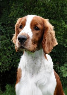 We had a welsh springer, but as a hunting dog he couldn't find pheasant if it sat on his head but what he lacked in hunting skills he more than made up in good looks and a wonderful way with children&adults alike..jasper ♥♥♥