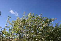 Blueberry tree and blue sky in spring 2014 at Lavender Backyard Garden, Hamilton, New Zealand