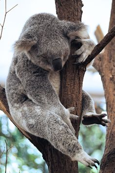 Lone Pine Koala Sanctuary is Brisbane's native wildlife park. Cuddle a Koala, take a selfie with a Kanagaroo and learn all about Australia's unique animals Visit Australia, Australia Travel, Brisbane Australia, Lone Pine Koala Sanctuary, Unique Animals, Adorable Animals, Sloth Bear, Spirit Bear, Cow Pictures