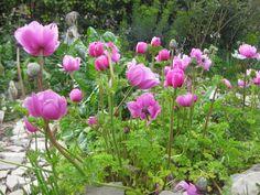 anémones: elles sont parfaites dans un jardin méditerannéen