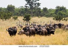 Buffaloes in Kruger National Park, South Africa. - stock photo