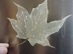 Make Leaf Skeletons now to use in your Halloween decorations next month! New technique works better!